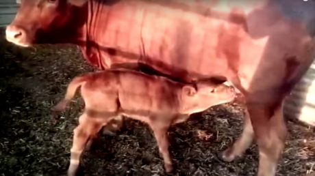 'End of days': Birth of red heifer in Israel may signal coming of Messiah, Hebrew scholars say