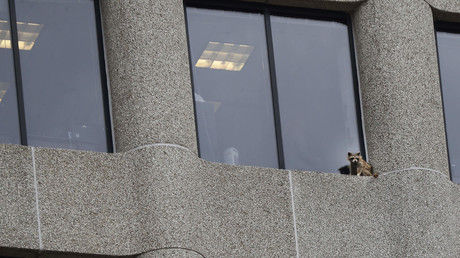 Daredevil raccoon climbs high-rise, drops from about 8 stories (VIDEO)