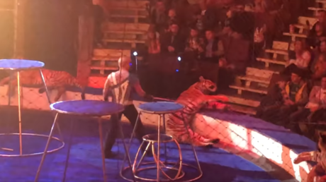 Tiger suffers seizure and freezes during performance at Russian circus (VIDEO)