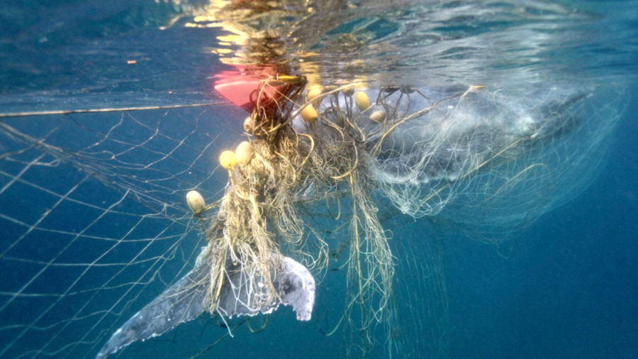 'Distressing': Rescuers save calf 'enveloped' in shark net (VIDEO)