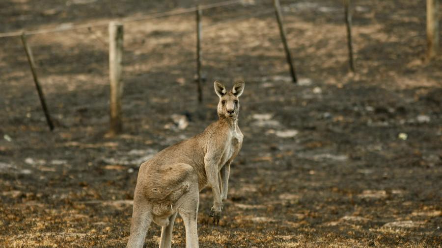 Victoria police rescue 'swimming' kangaroo