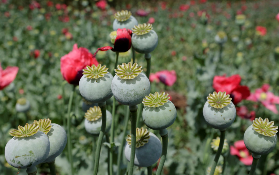 Flower power: Russian govt mulls bill to lift poppy plant production ban to grow for medical use