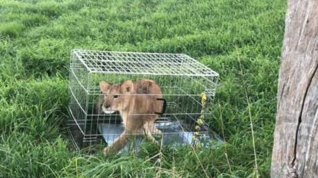 Jogger finds lion cub caged & abandoned in Dutch field (PHOTOS, VIDEO)