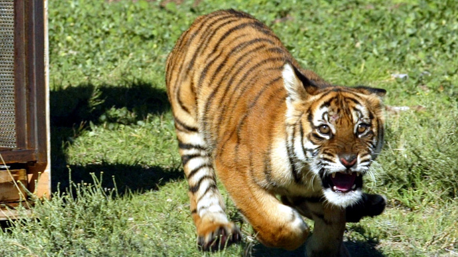 Tiger pursues terrified tourist 'prey' through wildlife park