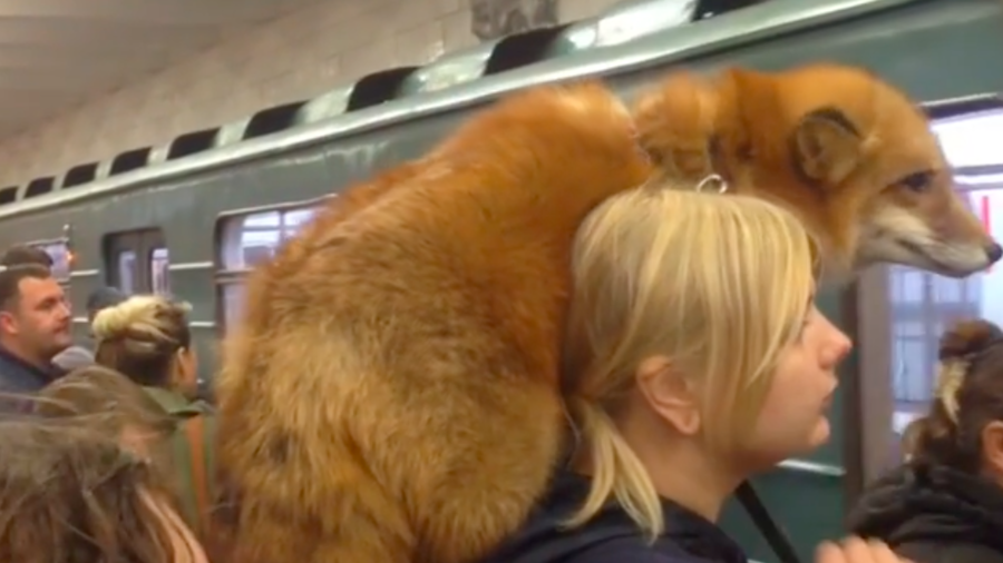 What the fox? Russian woman rides Moscow metro with unusual furry companion (VIDEO)