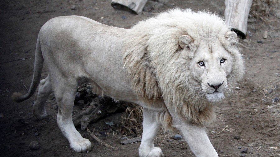 White lion Mufasa locked in bizarre custody battle, fears animal could be sold to hunters