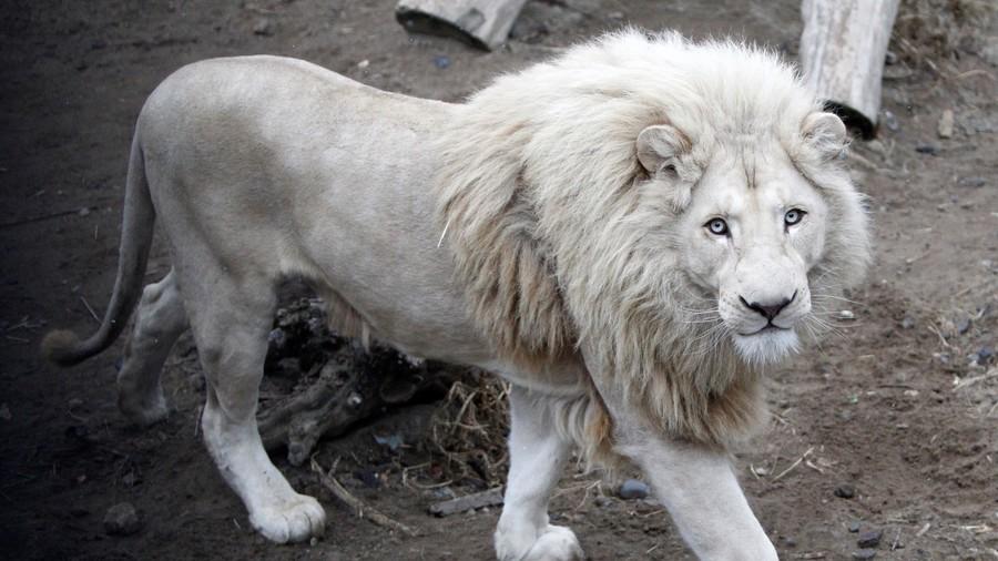 White lion Mufasa locked in bizarre custody battle, fears