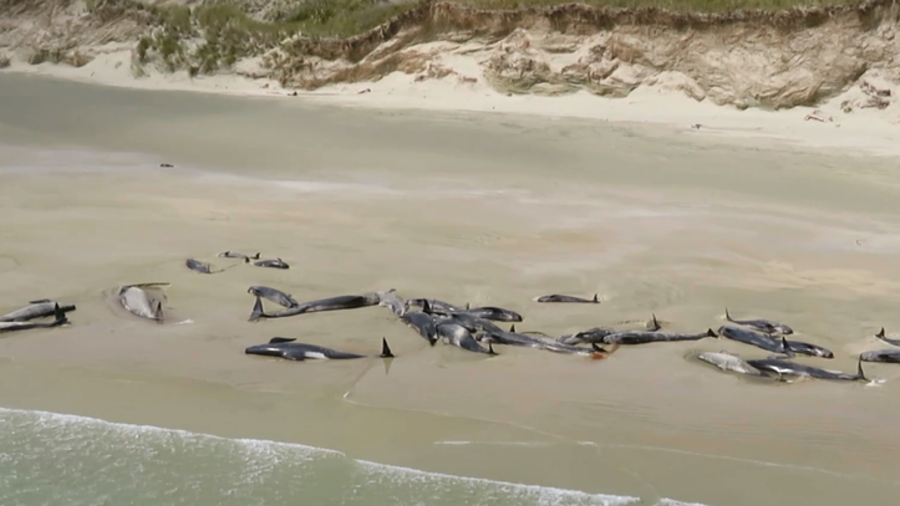 'Heartbreaking:' 145 pilot whales die after washing ashore on remote NZ beach (VIDEO)