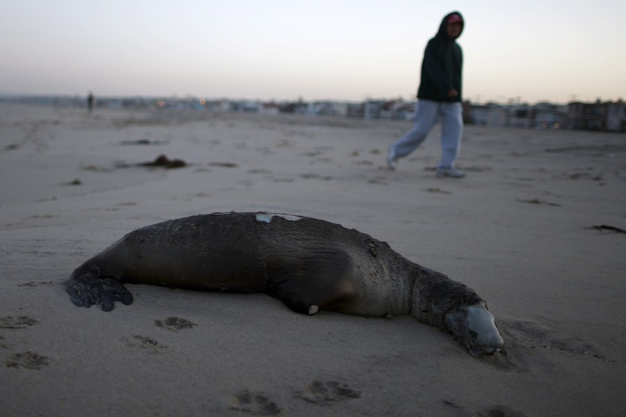 Mutilated and bullet ridden sea lions wash up on Washington shores (PHOTO)