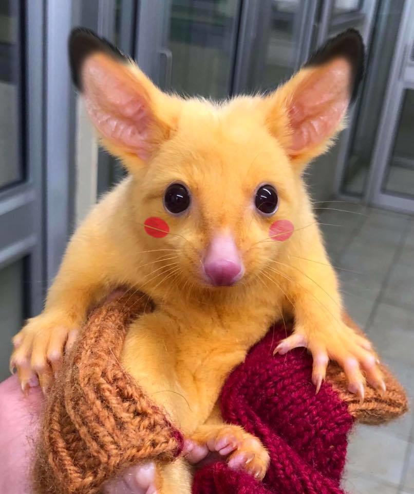Its Pikachu Rare Possum Goes Viral For Striking Similarity To
