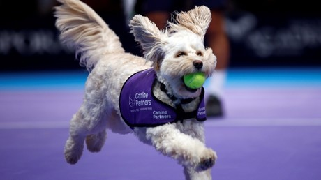Paw-fect helpers! London tennis tournament uses adorable 'ball dogs' (PHOTOS/VIDEO)