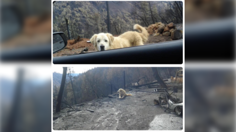 Loyal dog guards burned-down house weeks after California wildfire (VIDEOS, PHOTOS)