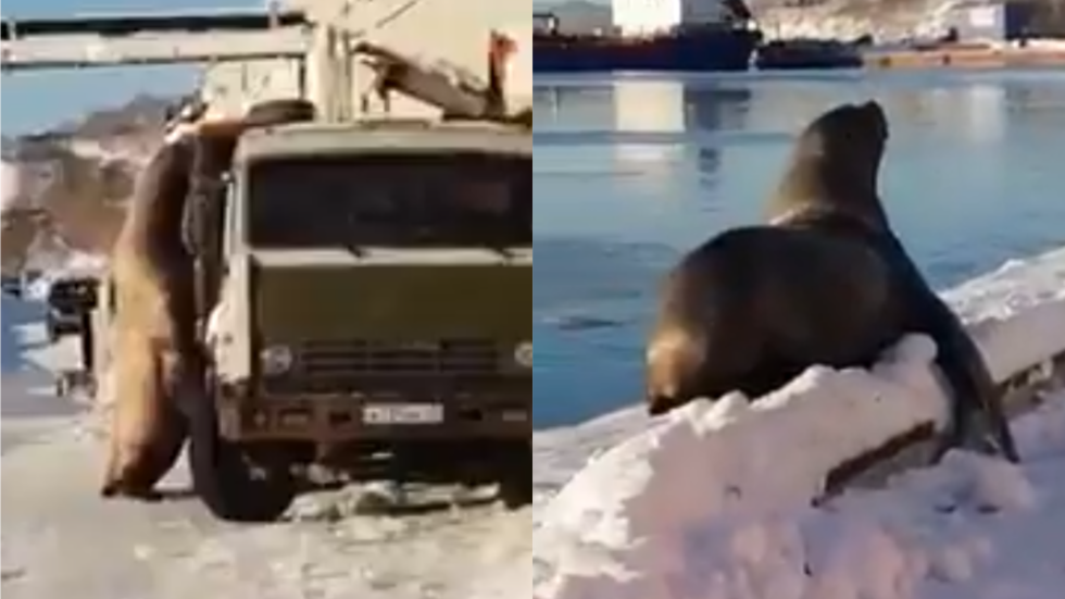 Snack attack: Enormous sea lion surveys food truck for handy meal in Kamchatka