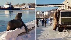 Snack attack: Enormous sea lion surveys food truck for handy meal in Kamchatka (VIDEO)