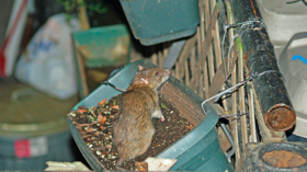 Rats running rampant in Rome as city suffers rodent population explosion