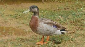 Trevor, the 'world's loneliest duck', dies after being savaged by dogs
