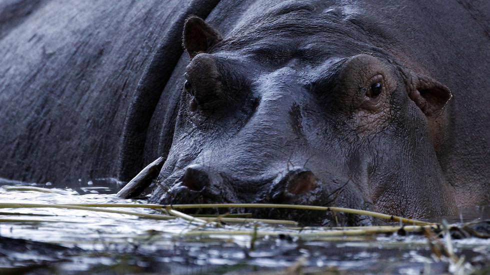 'People forgot the hippos': Locals struggle to control Escobar's strange legacy in Colombia