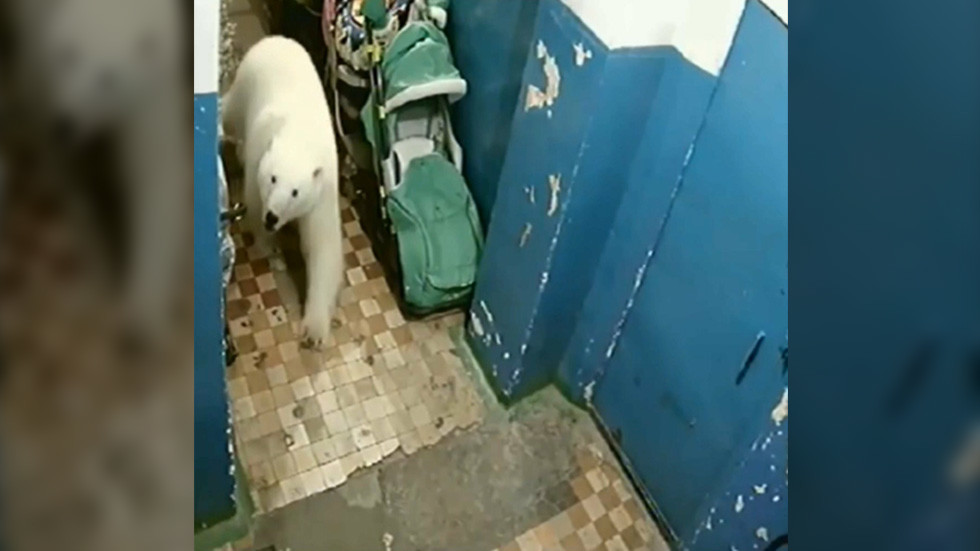 Wild invasion: Polar bear caught on CCTV walking into Russian apartment block