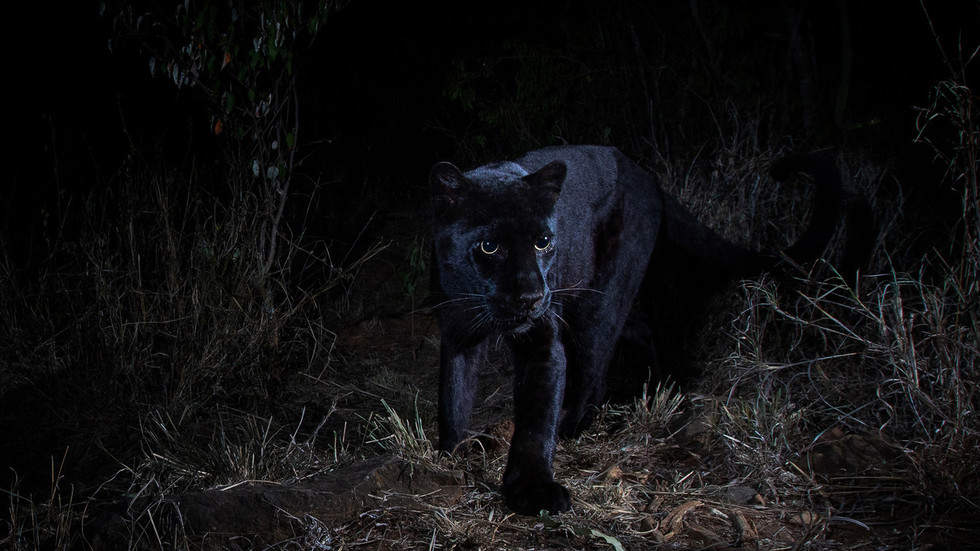 Rare PHOTOS of 'most elusive' black leopard captured in Africa