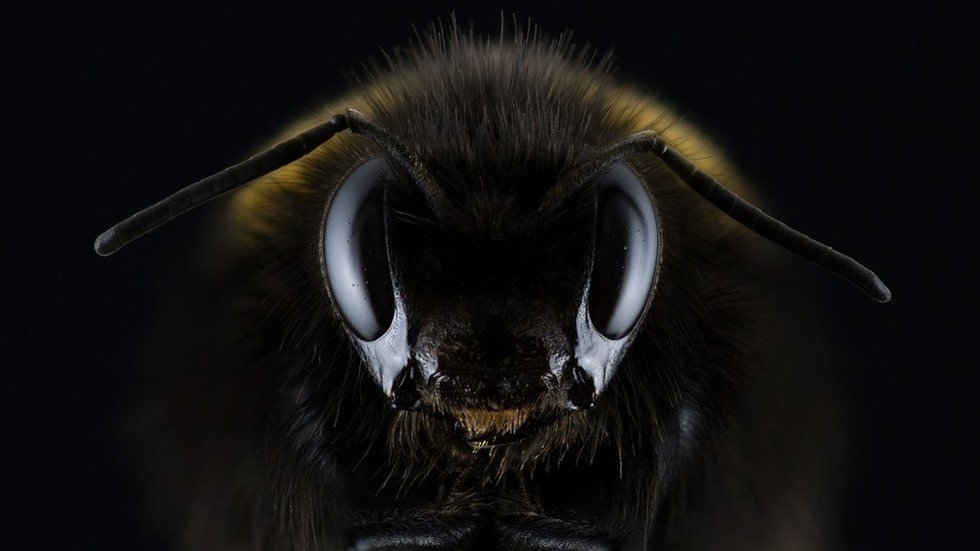Flying bulldog'? Researchers uncover GIANT BEE thought to be extinct for 3 decades