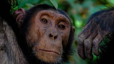 Chimpanzee sign language points to universal laws of communication
