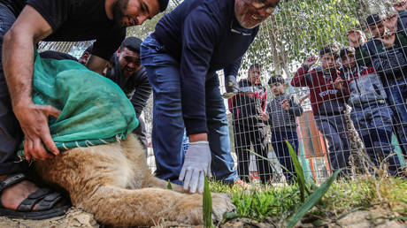 Gaza zoo declaws lion so visitors can play with it (GRAPHIC PHOTOS, VIDEO)