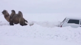 Snowed-in Russian driver rescued by CAMEL in hilarious road VIDEO