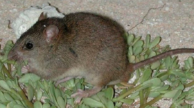Great Barrier Reef rodent becomes 1st official 'climate change extinction'
