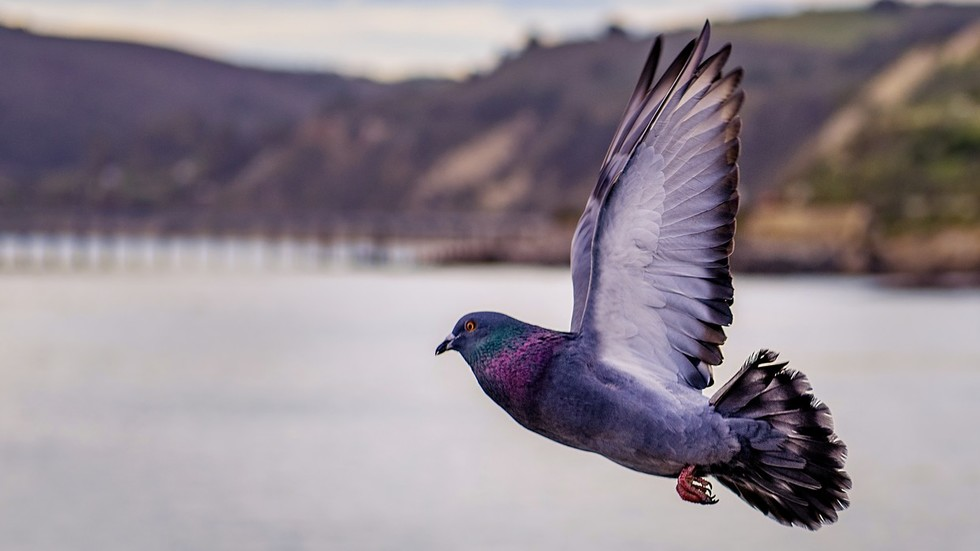 Prized pigeon: Someone just paid €1.25 million for a bird