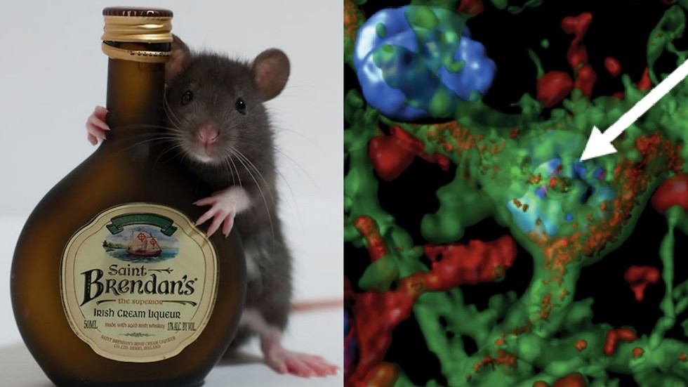Flip of a switch': Scientists 'cure' alcoholism in rats by firing lasers at their brains