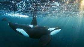 'Release is best solution': Explorer Cousteau wants to save orcas & belugas from 'whale jail'