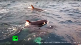 Extremely rare & 'undescribed' killer whale spotted in amazing breakthrough (VIDEO)