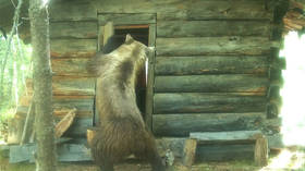 Bear bandit raids Siberian ranger hut in search of… a newspaper? (VIDEO)