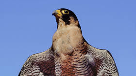 Famous falcon family returns to FM building spire in Moscow