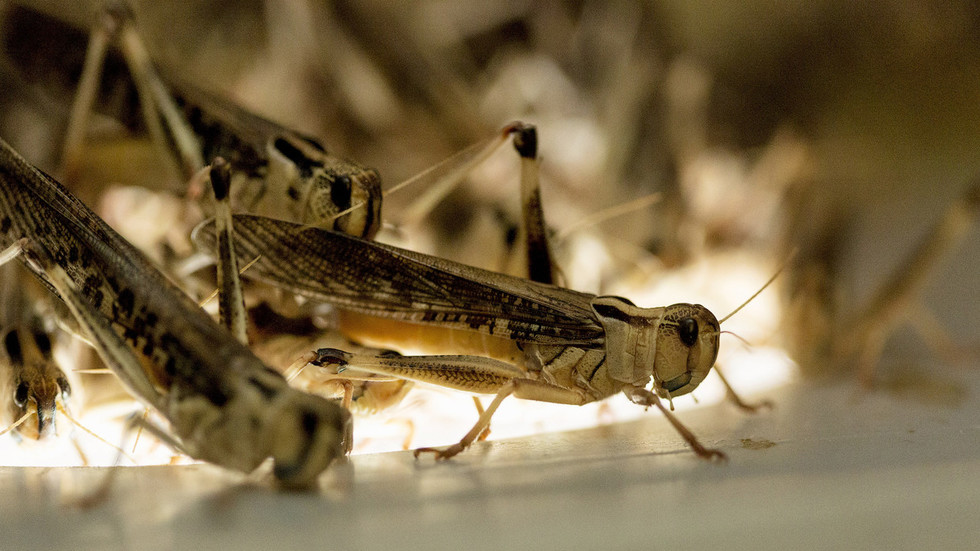 Devastation from above: Swarm of locusts FILMED invading Saudi Arabian city