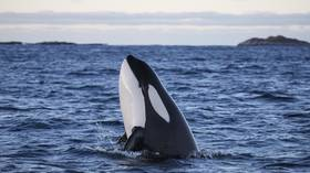 All orcas & belugas from Russian 'whale prison' will return to the wild – governor