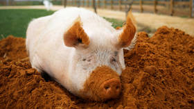 Zombie pigs? Scientists restore partial function in hours-dead animal brains