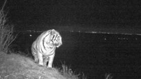 Big city lights: Rare Amur tiger enjoying night landscape caught on camera in Russia's Far East
