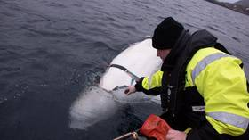 Well done, Comrade Belugov! Did 'Russian Navy whale' trick Norwegians into seizing spy harness?