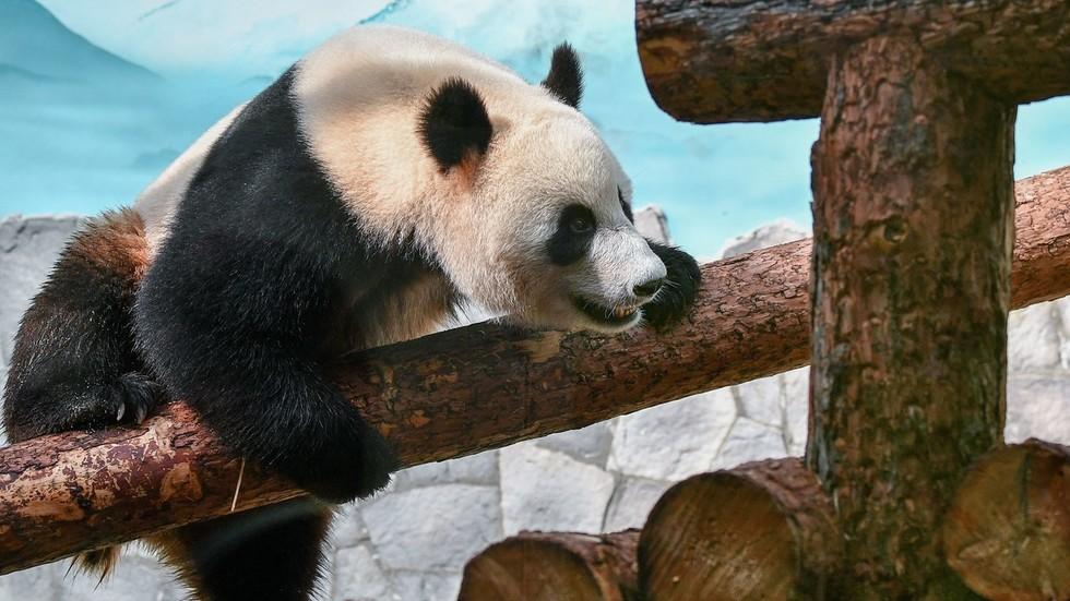 'They make you smile': Putin & Xi go full panda diplomacy at Moscow Zoo (PHOTO, VIDEO)