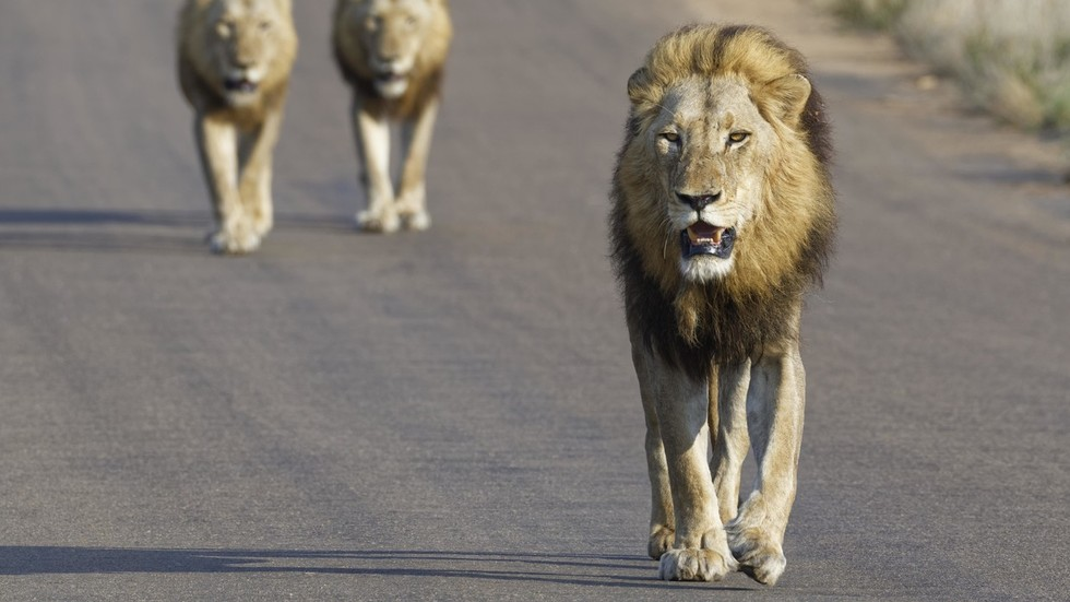 14 lions on the loose after escaping from South Africa's Kruger National Park