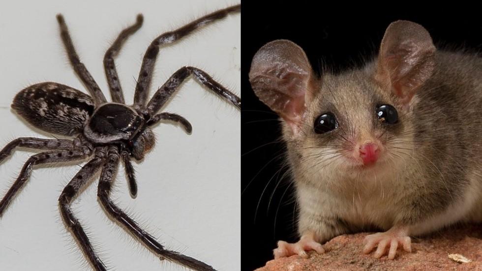 Nightmare fuel: Giant spider pictured eating POSSUM in Tasmania (PHOTO)