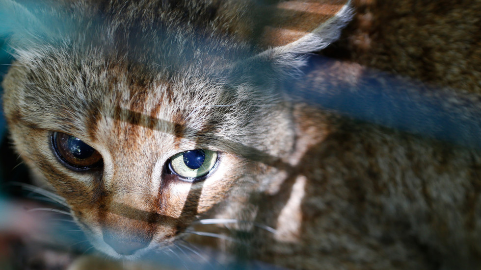 Mysterious, nocturnal 'cat-fox' predator discovered on Corsica (PHOTOS)