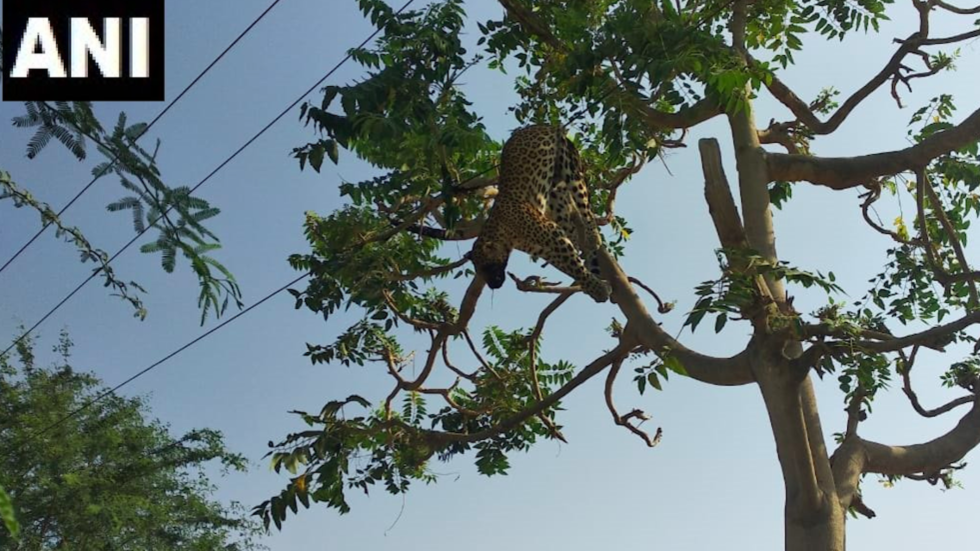 Leopard electrocuted as it hunted prey in tree near power wires in India (PHOTO)