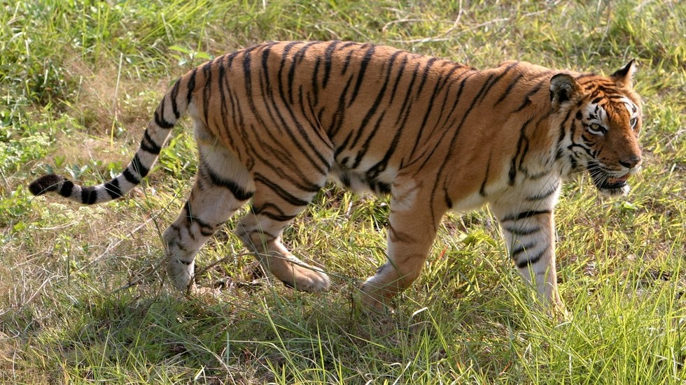 VIDEO of Indian bikers nearly becoming tiger's lunch goes viral
