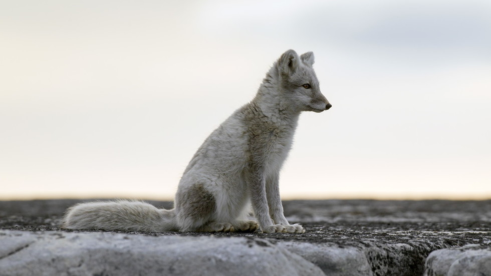 Scientists left 'speechless' by young Arctic fox's amazing journey from Norway to Canada