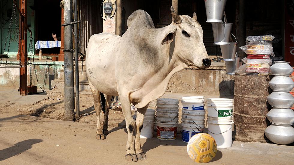 Moo-radona: Indian cow becomes viral sensation with stunning football skills