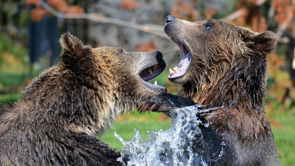 Finnish photographer films heavyweight bear brawl from just FEET AWAY
