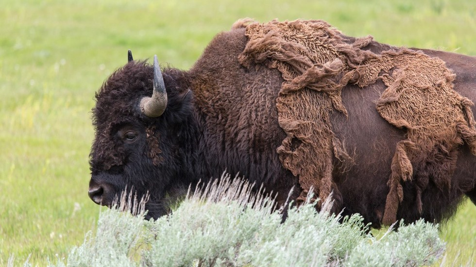 9yo girl tossed into the air by giant buffalo in Yellowstone Park (DISTURBING VIDEO)