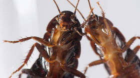 Cockroach 'superbugs' evolve to resist pesticides in ONE GENERATION, study finds